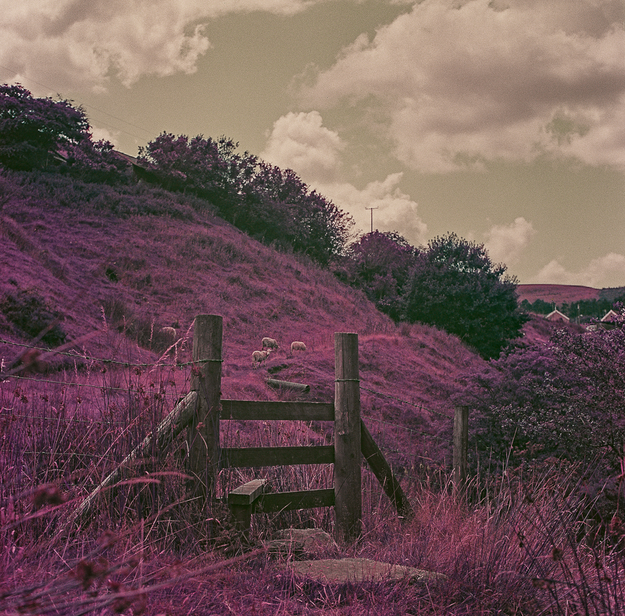 1st roll of Lomochrome Purple XR 100-400 in the Yashicamat 124G … all 12 frames